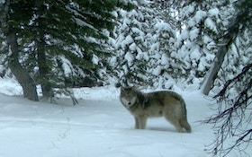 Wisconsin Wants To Scale Back Annual Wolf Hunt