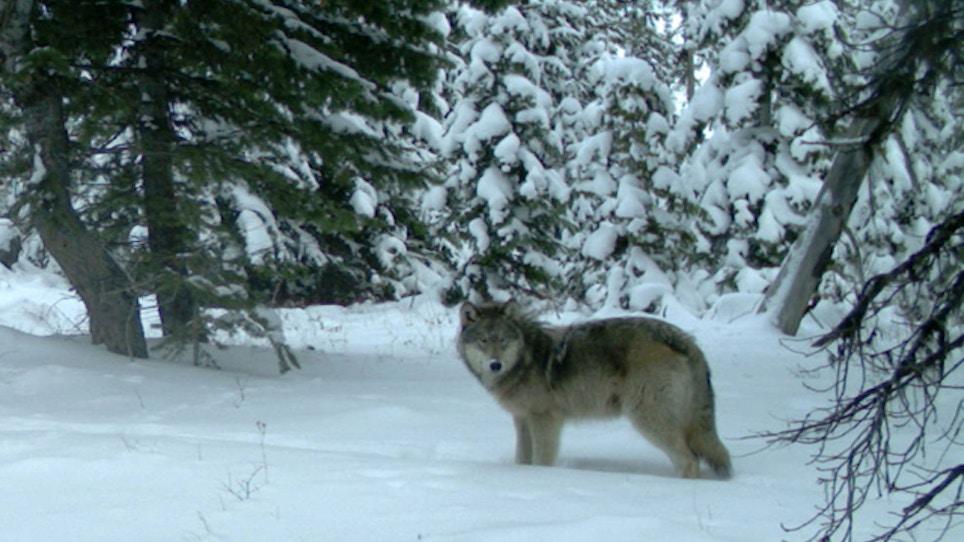 Elk Group Donates $25K For Wolf Management