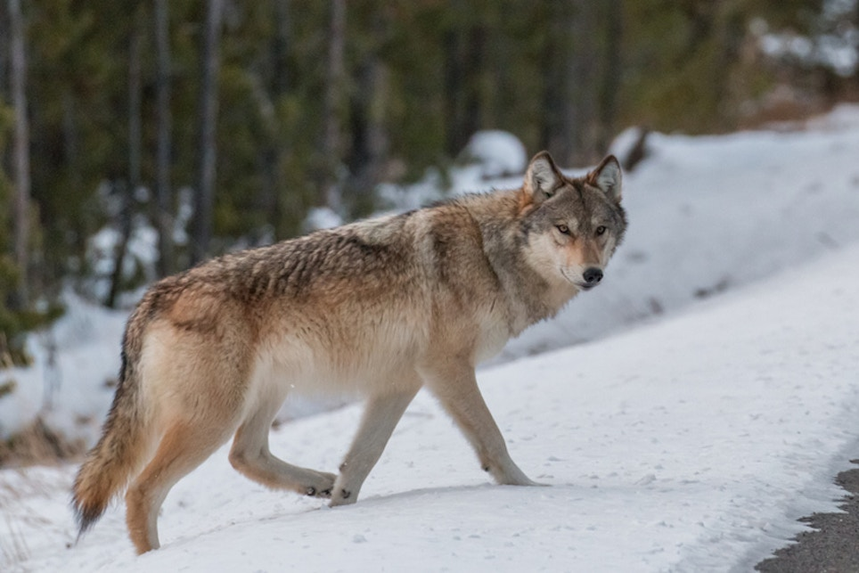 Badger State Wolf Season Launched