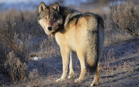 Gray Wolf Killed Near Fremont, Nebraska