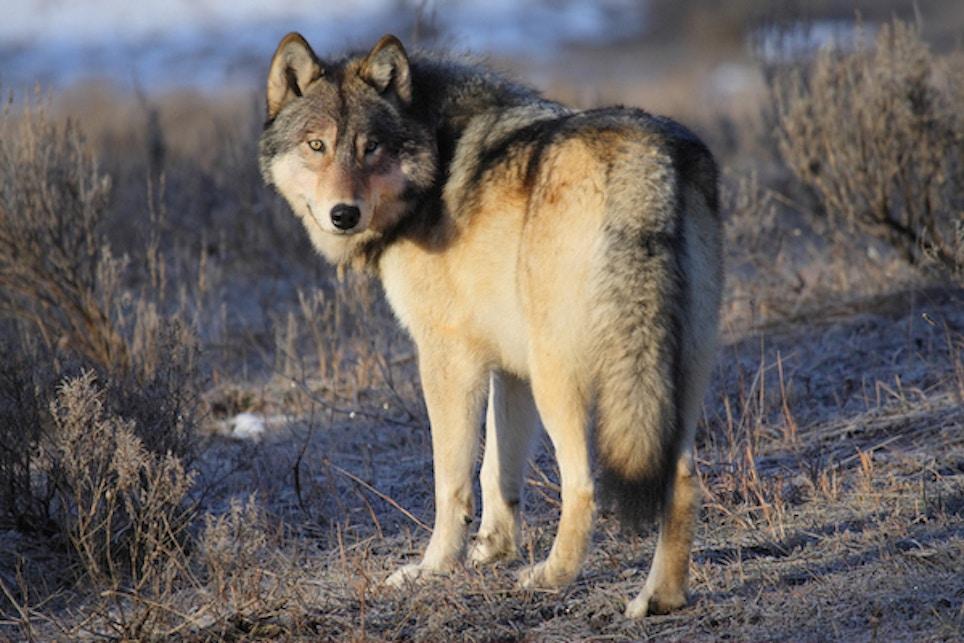 Gray Wolf Killed Near Fremont, Nebraska