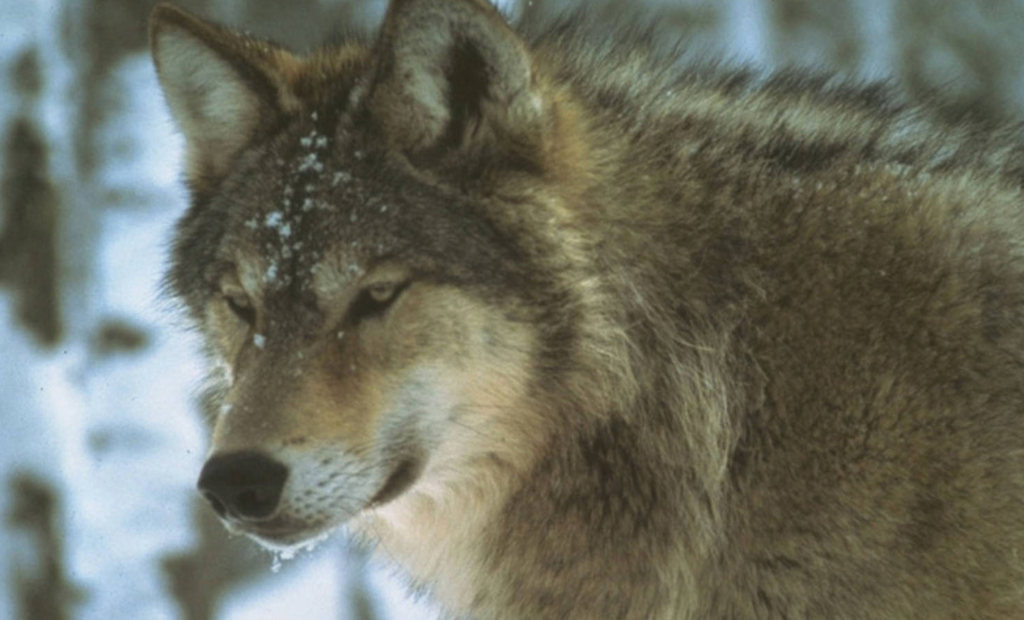 Wolves Relocated to Isle Royale to Control Moose Population