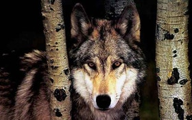 Idaho Expands Opportunities for Hunting Wolves