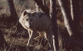 Refresher Course for Wyoming Wolf Reinstatement