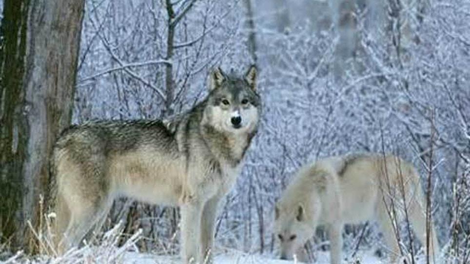 Michigan wolf hunt begins despite protests