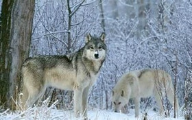 Wolf kill total remains 20 in chill-slowed Upper Peninsula hunt