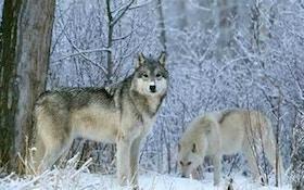 Board Rejects Wolf Buffer Zone Near Denali National Park