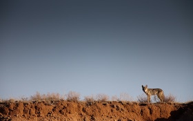 10 proven tips to help you kill more coyotes this season