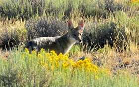 Why That Roaming Pack of Coyotes Could Be a Myth