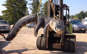 Alabama Hunter Captures Possible World Record Alligator