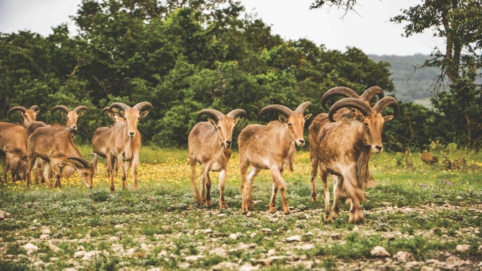 Bowhunting Texas Exotics