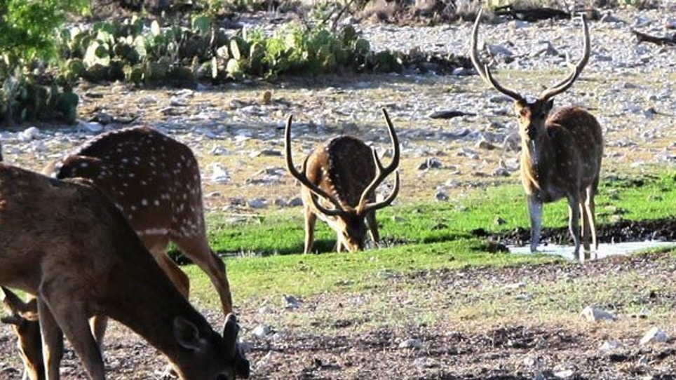 The Deer Of Spring
