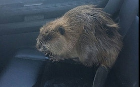 Beaver Creates Traffic Jam In Wisconsin