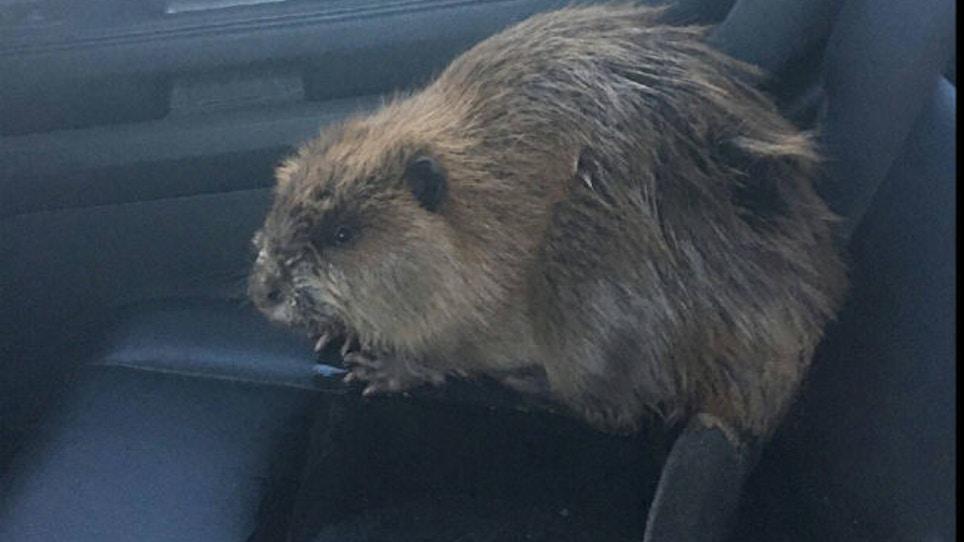 Beaver Creates Traffic Jam In Wisconsin