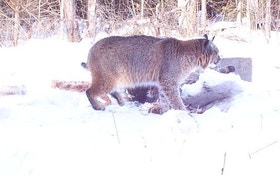 Update! Michigan Bobcat Hunt Part 2