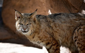 Mother: Son Attacked By Bobcat While Protecting Girlfriend