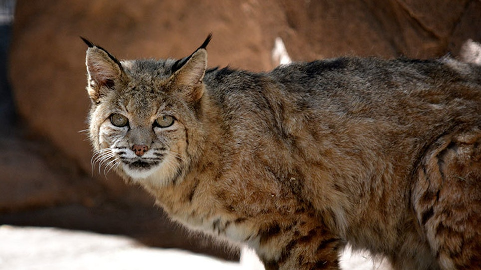 How High Demand Are Bobcat Hunting Permits In Illinois?