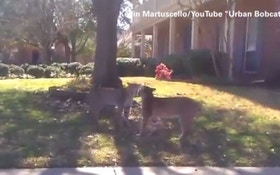 VIDEO-Bobcats battle in suburban Dallas