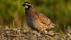 Targeted CRP Practices Can Boost Bobwhite Populations: Study