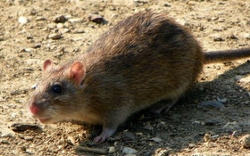 Rats, the World's Varmint for 160 Million Years