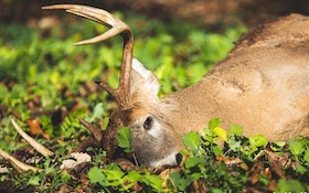 Prep Now for Fall Brassica Food Plots