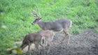Velvet Buck Video: Does This Giant Whitetail Jump the String?