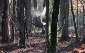 Does a Mature Whitetail Buck Snort? Here's the Video Proof!