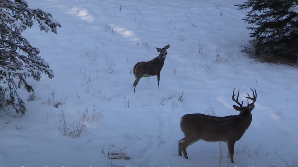 Whitetail Video: Bowhunting Blunder Saved by Deer Decoy