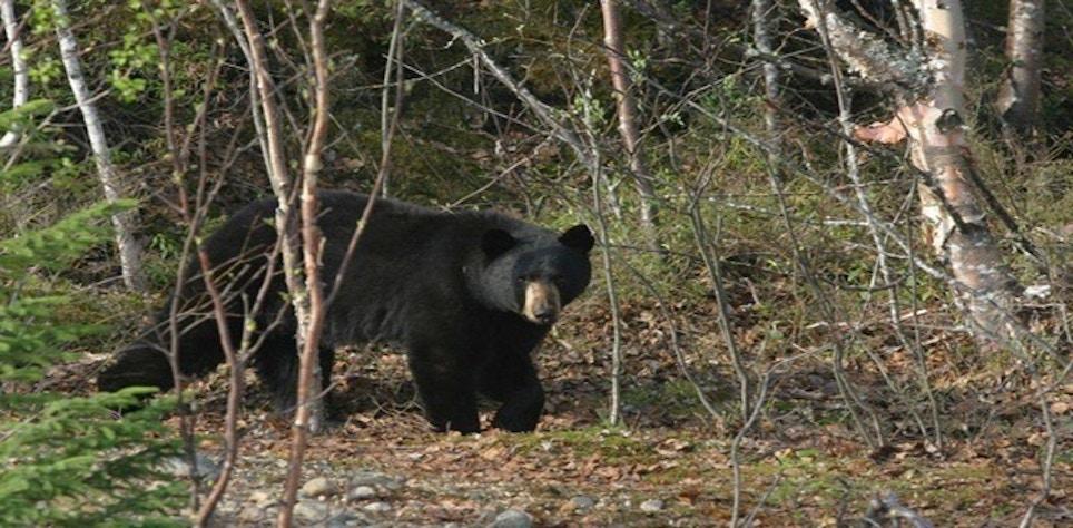 Pennsylvania Sets All-Time Record Bear Harvest