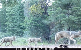 California's Wolf Population Is Multiplying