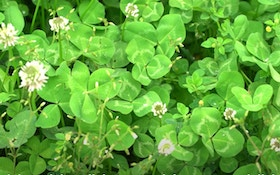 Clover Food Plots: Pros and Cons of Spring vs. Late-Summer Plantings