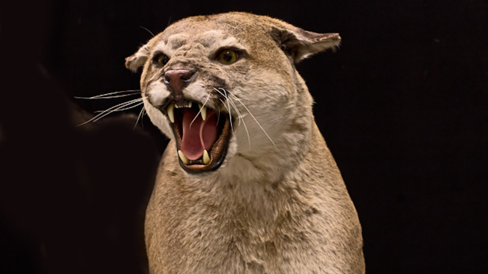 Cougar Estimates Criticized By Montana Hunters