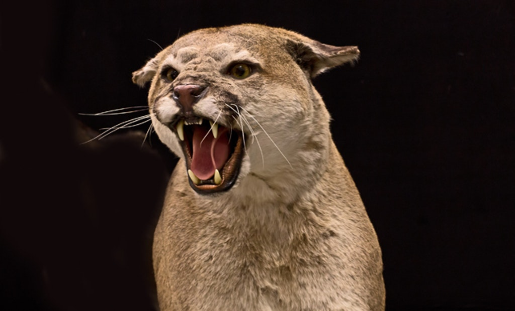 Op-Ed: Trophy Cougar Hunting, Never Better
