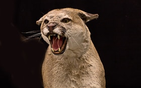 Deer Carcass Near Entrance To Oregon Park Is Cougar Kill