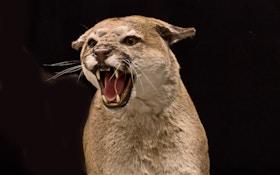 3 Llamas Killed By Mountain Lions In Western Colorado