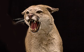 Federal Lawsuit Targets Cougar Trapping In New Mexico