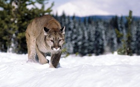 Hound Hunting for Mountain Lions