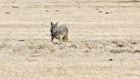How Long Do Coyotes Live in the Wild?