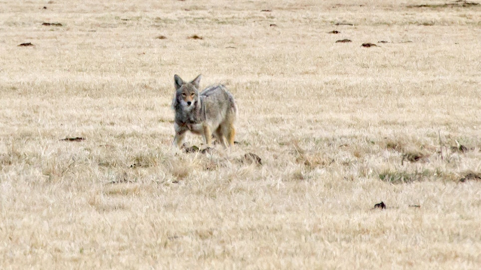 Should Coyote Hunting Contests be Banned?