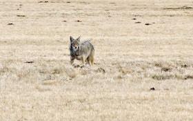New Mexico Senate OKs Bill To Ban Coyote-Killing Contests