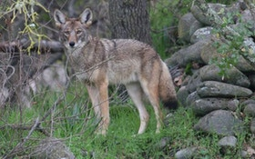 California Coyote-Killing Contests Face Ban
