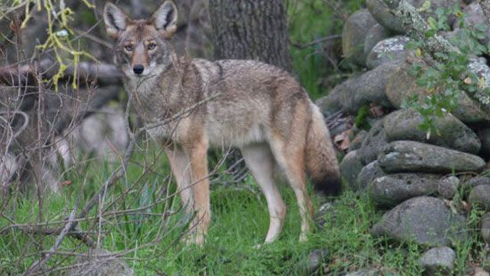 Illinois Town Adopts Plan To Haze Coyotes