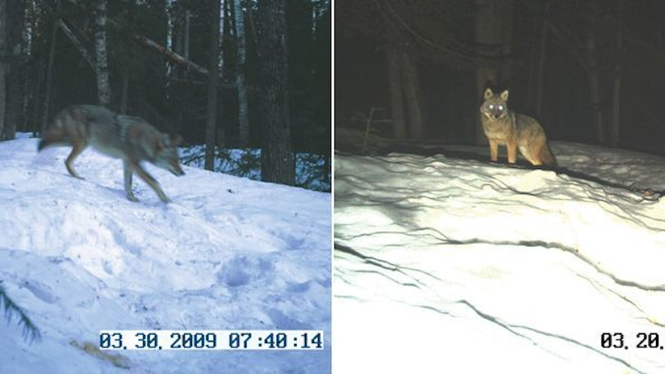 Trail Cameras for Coyotes
