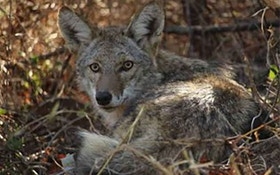 How Many Eastern Coyotes Are Out There?