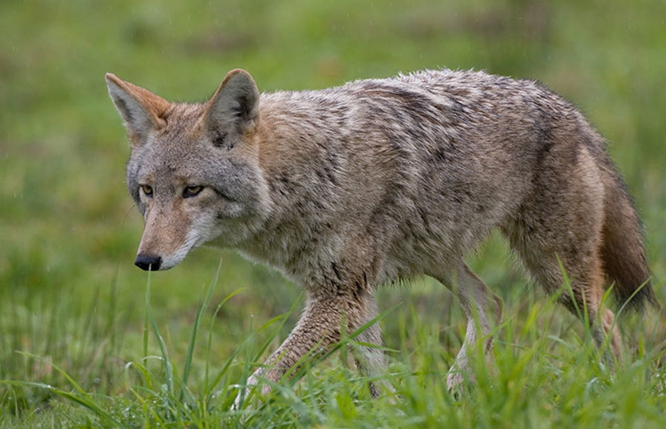 Summer Coyotes Elusive Until They Sound Off