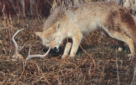 Cull Coyotes For Better Deer Hunting