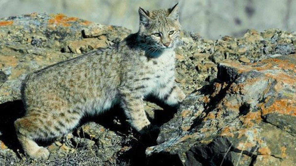 Calling Bobcats – Even During the Day