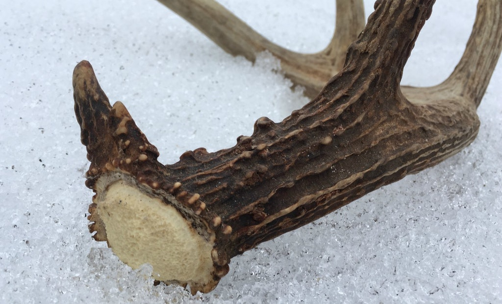 Can Antlers Cure Diseases?