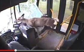 VIDEO: A deer rides a city bus