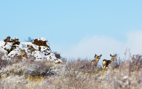Wyoming Organizes Baggs Mule Deer Group
